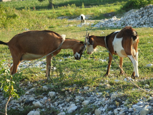 Grazing goats at Grise